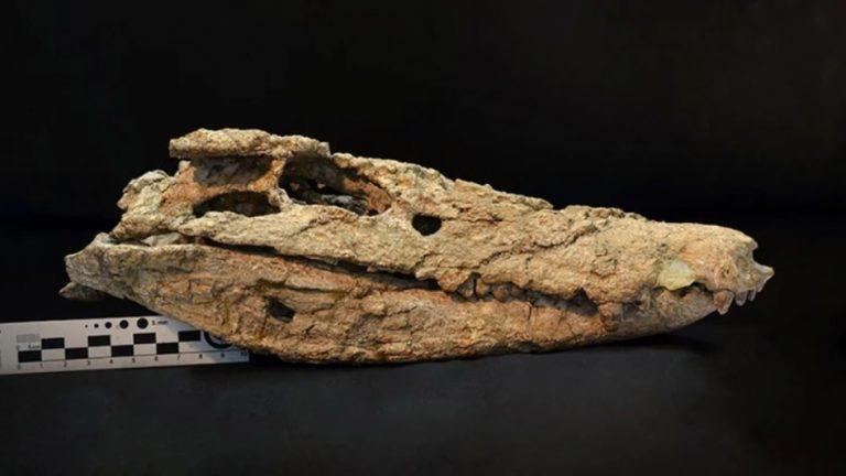 Encontraron el esqueleto de un cocodrilo que habitó en Neuquén hace 70 millones de años
