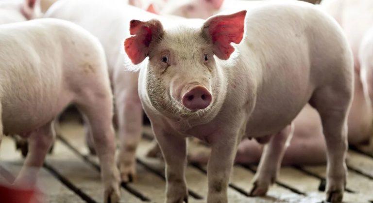 Podrían trasplantarse corazones de cerdo a pacientes humanos