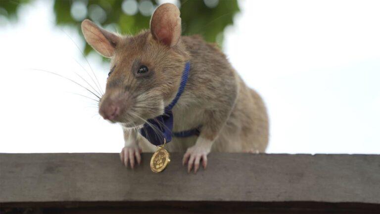 Condecoran con una medalla de oro a una rata por su trabajo para salvar vidas humanas detectando minas