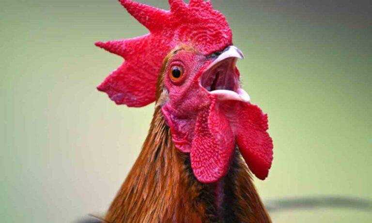 Lo multaron con $40.000 por los ruidos que hacía su gallo