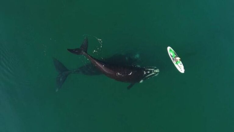 La ballena franca austral, en peligro por el calentamiento de los océanos